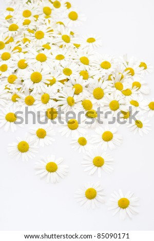 Group of Chamomile flower heads isolated on white background