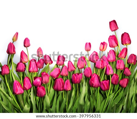 Group of cheerful elegant vivid deep rose color springtime tulips isolated on white backdrop with clipping path. View close-up with copy space for text. Congratulation card for women mother's day - stock photo