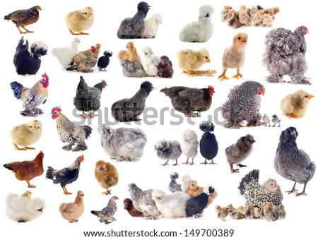 group of chicken and roster on a white background - stock photo