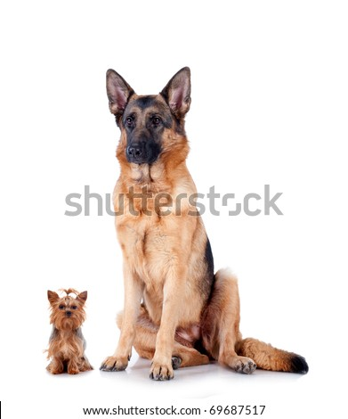 Group of Chihuahua and German Shepherd, isolated on white background, studio shot. - stock photo