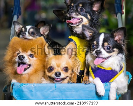 Group of chihuahua sitting in a wheelchair outside the house to hang out and enjoy. - stock photo