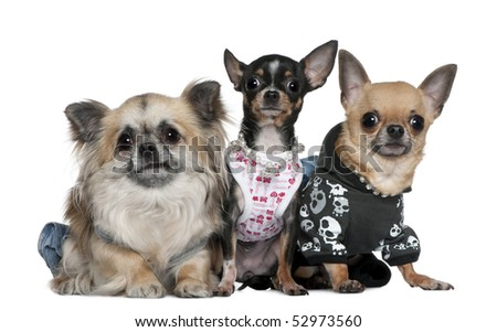 Group of Chihuahuas dressed up, 3 and 2 years old, in front of white background - stock photo