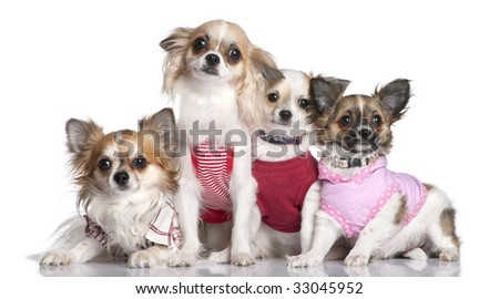 group of 4 chihuahuas dressed-up in front of a white background