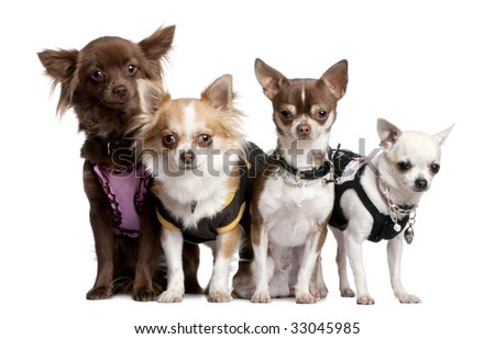 Group of 4 chihuahuas dressed-up in front of a white background - stock photo