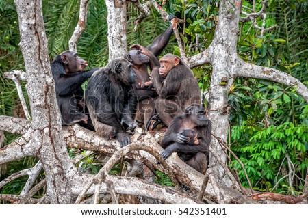 Group of Chimpanzee (Pan troglodytes)  on mangrove branches. Mother-chimpanzee sits and holds on hands of the cub. Chimpanzees (chimps), (Pan troglodytes troglodytes). Congo. Africa.