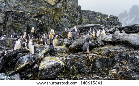 Group of Chinstrap penguins on the rock - stock photo