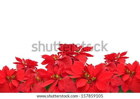 group of Christmas red poinsettia plants on white background - stock photo