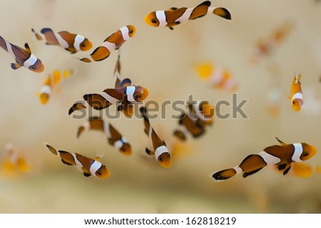 Group of clown fish - stock photo