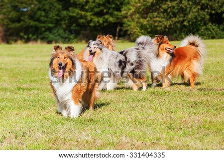 group of Collie dogs on the meadow