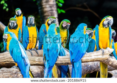 Group of colorful blue-and-yellow macaws (Ara ararauna) sitting on tree - stock photo