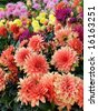 Group of colorful dahlias - stock photo
