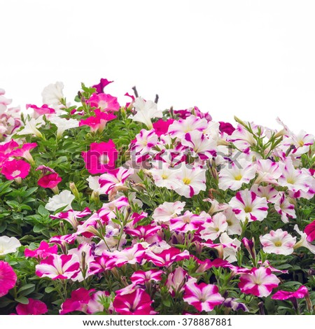 Group of colorful petunia flowers blossom in flower pot in garden on white background - stock photo