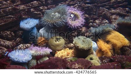 Group of coloured aneones in aquarium - stock photo