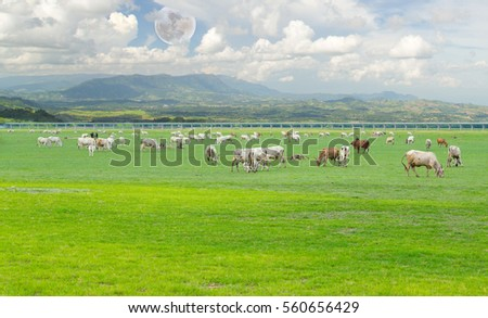 Group of cow and ox eating grass at grass filed with super moon on sky , have mountain background.