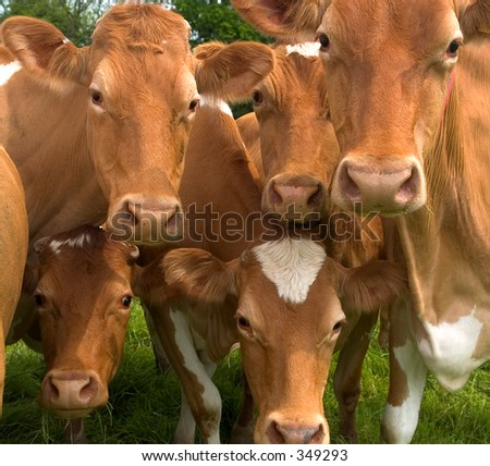 Group of cows having a stare - stock photo