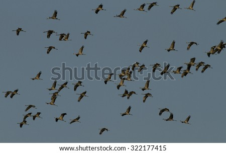 """Group of Cranes in the """"Müritz National Park"""" (Germany) - stock photo"""