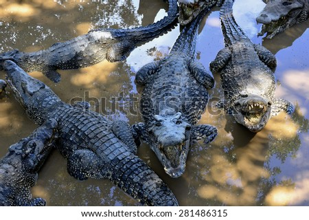 Group of  Cuban Crocodiles (crocodylus rhombifer). Image taken in a natural park in the island of Cuba - stock photo