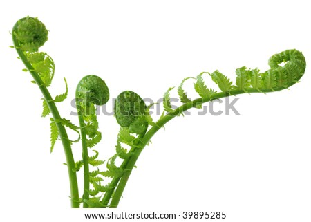 Group of curly ferns isolated on white background - stock photo