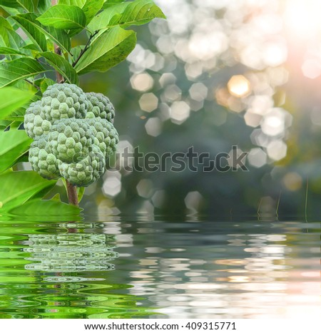 Group of custard apples on green nature background and reflect