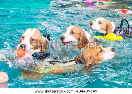 Group of cute beagle dog playing toy in the swimming pool - stock photo