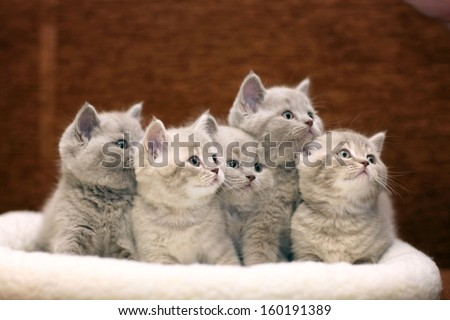 Group of cute gray British kittens - stock photo