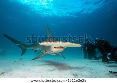 Group of divers observe Great Hammerhead shark - stock photo