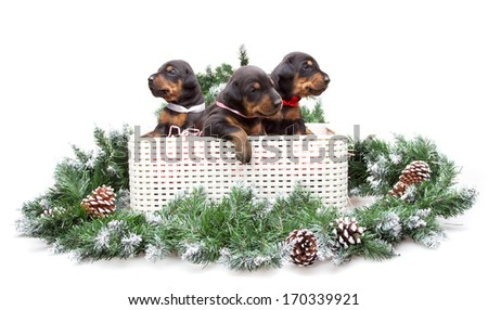 Group of dobermann puppies in box on fur tree isolated on white background - stock photo