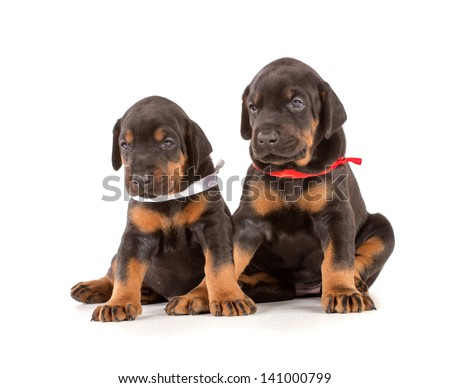Group of dobermann puppies on white background - stock photo