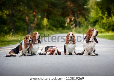 group of dogs basset hound sitting on the road - stock photo