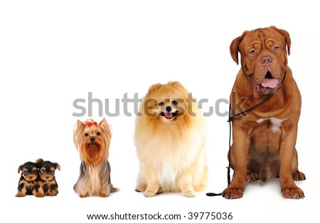 Group of dogs different sizes sit and looking into camera isolated on white. Yorkshire terrier, spitz, bordoss dog. - stock photo