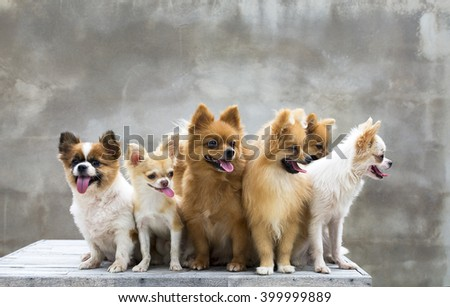 group of dogs,four pomeranians two chihuahuas are sit on table and looking something - stock photo