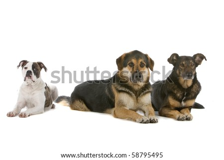 group of dogs. one purebred American bulldog puppy and two mixed breed dogs, isolated on a white background