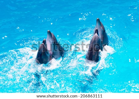 group of dolphins swimming in the clear blue water of the pool closeup  - stock photo