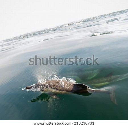 Group of dolphins, swimming in the ocean - stock photo