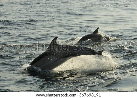 Group of dolphins, swimming in the ocean  and hunting for fish. The jumping dolphins comes up from water. The Long-beaked common dolphin (scientific name: Delphinus capensis) swim in atlantic ocean.