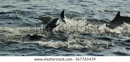 Group of dolphins, swimming in the ocean  and hunting for fish. The jumping dolphins comes up from water. The Long-beaked common dolphin (scientific name: Delphinus capensis) in atlantic ocean.   - stock photo
