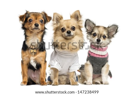 Group of dressed up Chihuahuas, isolated on white - stock photo