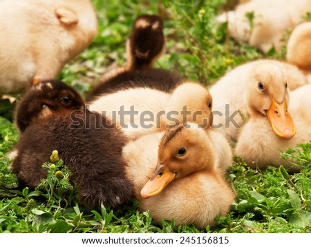 group of ducklings on the grass - stock photo