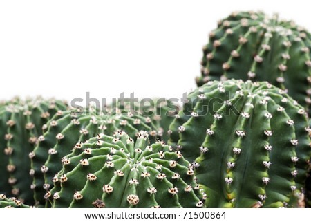 Group of echinopsis hystrichoides isolated on white. Hedgehog cacti, sea-urchin cactus or Easter lily cactus. - stock photo