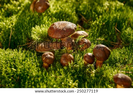 group of edible mushrooms in the forest - stock photo