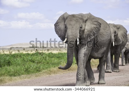 Group of elephants are on the savannah. In the foreground is a large African elephant group leader.