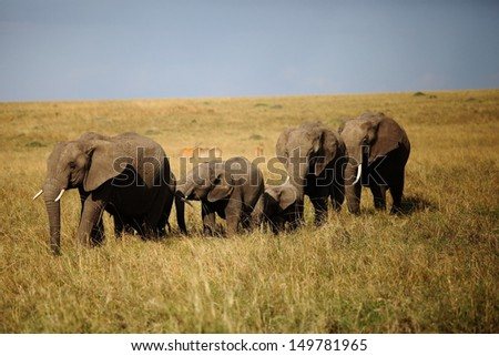 group of elephants in Kenya - stock photo