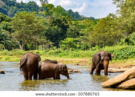 Group of elephants in river on SriLanka