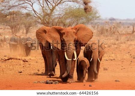 Group of elephants walking - stock photo