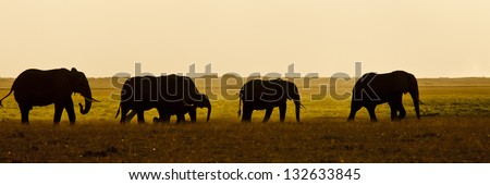 Group of elephants walking in the savannah in Amboseli National Park in Kenya