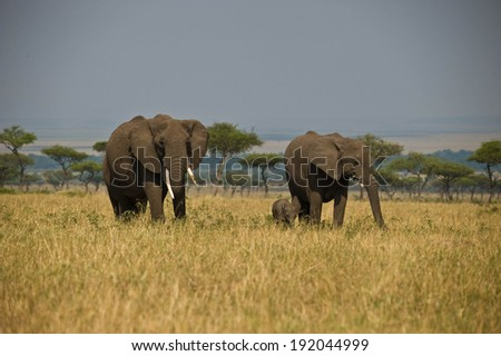 Group of elephants walking together