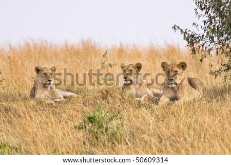 Group of female lions resting on a small hillside. - stock photo