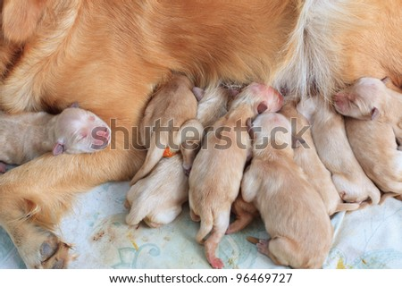 group of first day golden retriever puppies natural shot - stock photo