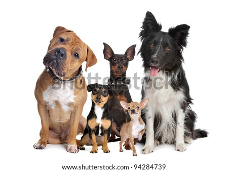 group of five dogs sitting in front of a white background - stock photo