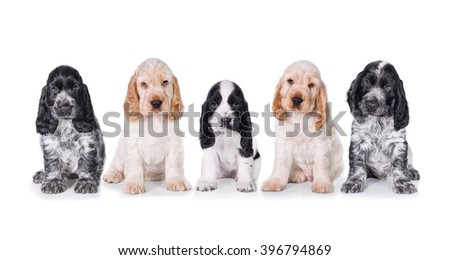 Group of five english cocker spaniel puppies